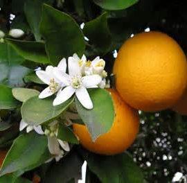 Vorträge über Orangen und Mangos